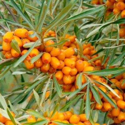 sea-buckthorn-oil-500x500-1